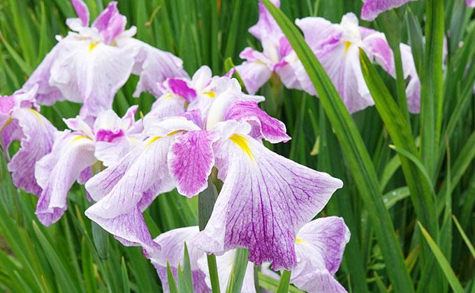 アヤメの花の色