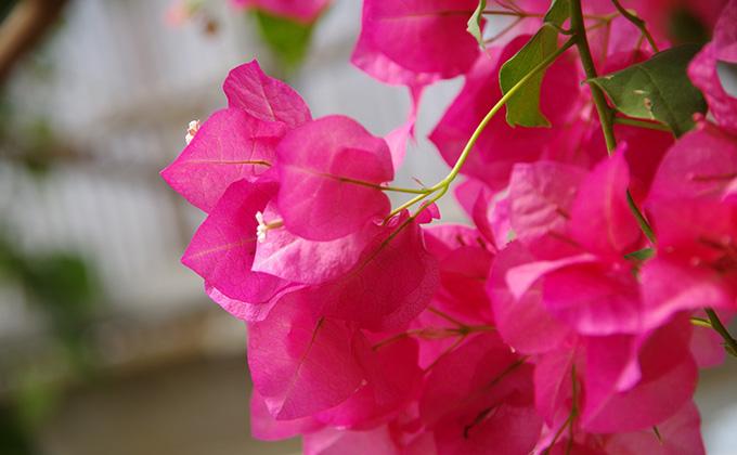 ブーゲンビリアの花の色