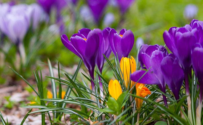 クロッカスの花の色