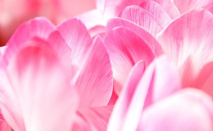 シクラメンの花の色