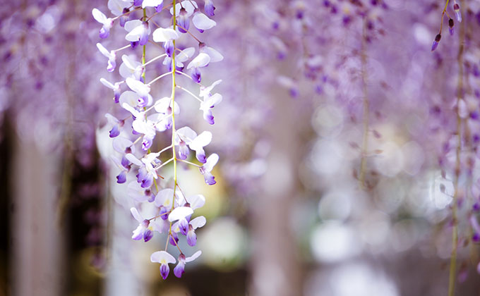 藤の花の色