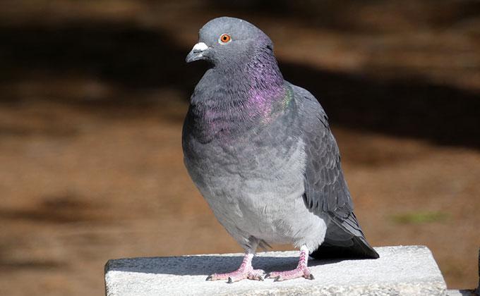 鳩の羽の色