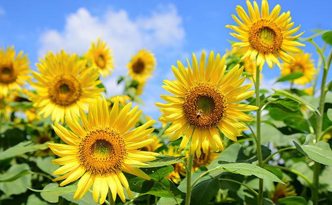 サンフラワー(ひまわり)の花の色