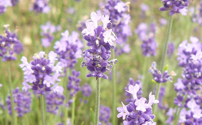 ラベンダーの花の色