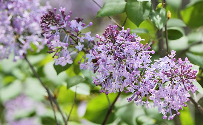 ライラックの花の色