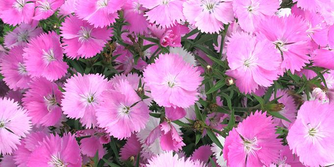ピンク色のナデシコの花
