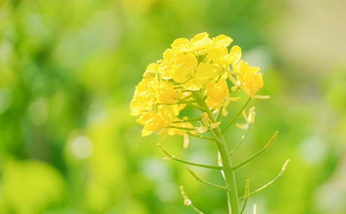 菜の花の色