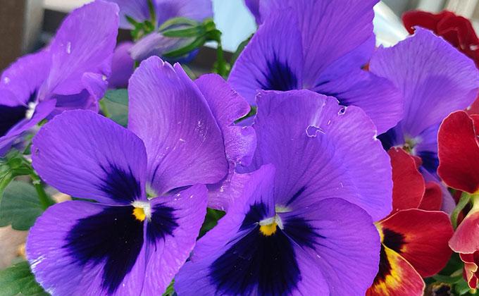 パンジーの花の色