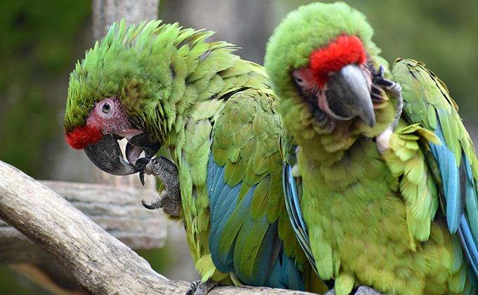 ヒワコンドウインコの羽の色