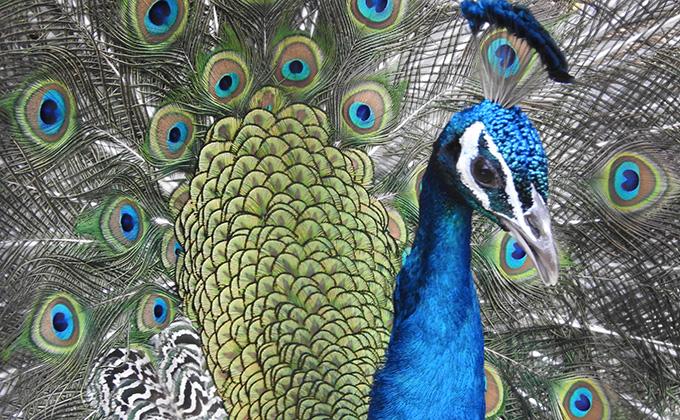 孔雀の羽根の色