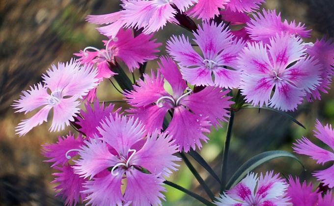 撫子の花の色