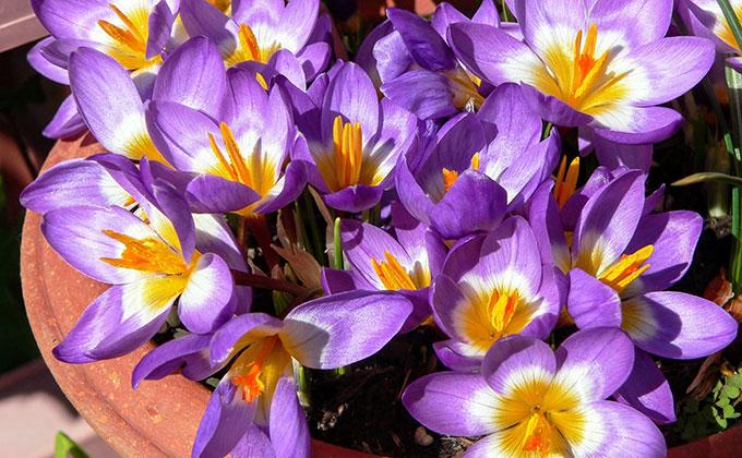 サフランの花の色