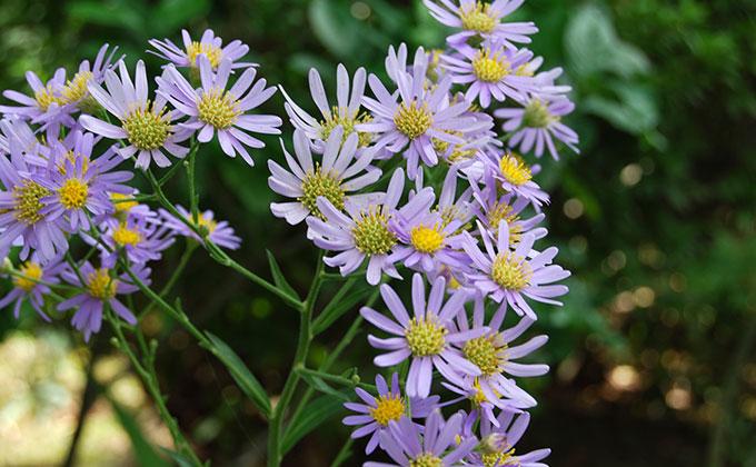 シオンの花の色