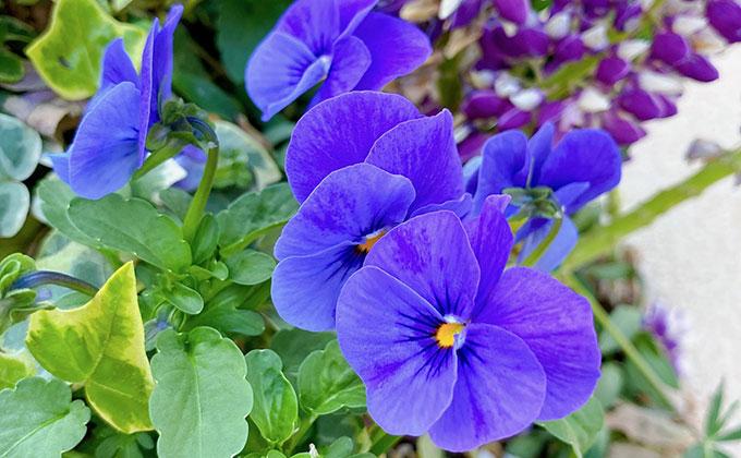 スミレの花の色