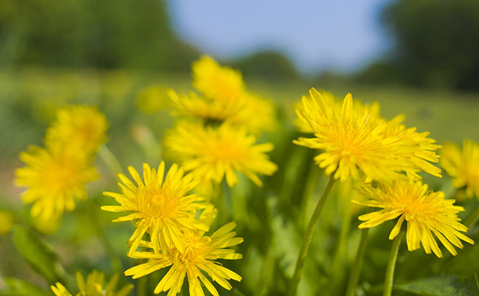 タンポポの花の色