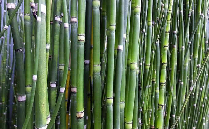 木賊(トクサ)の茎の色