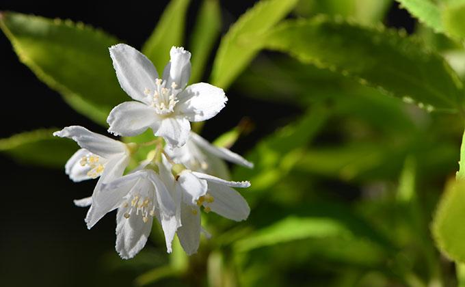 卯の花(ウツギの花)の色