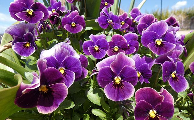 菫(ビオラ)の花の色