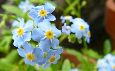 青いワスレナグサの花