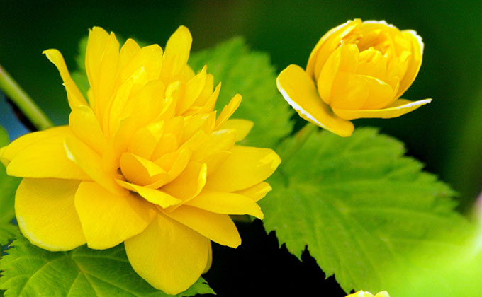 山吹の花の色