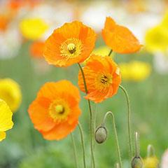 花の色と花言葉