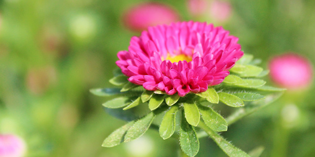 ピンクのアスターの花言葉