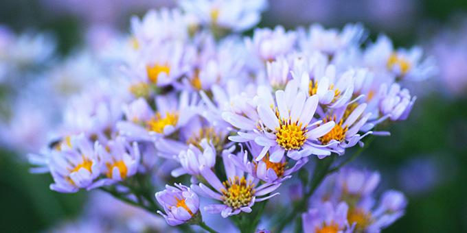 紫色の紫苑(シオン)の花言葉