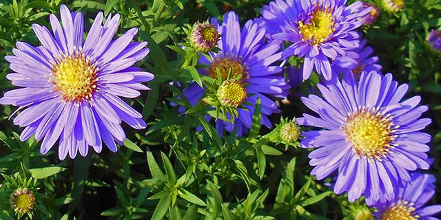 紫のアスターの花言葉