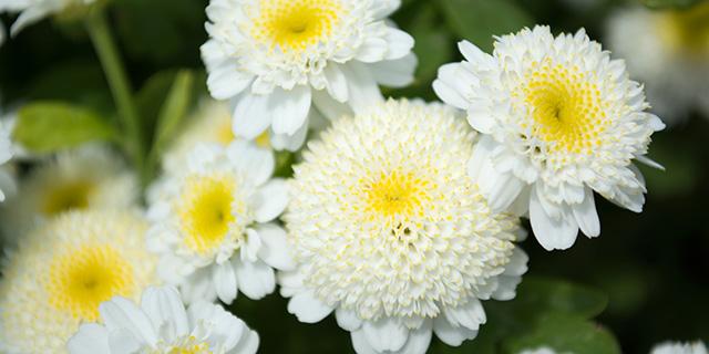 白色のアスターの花言葉