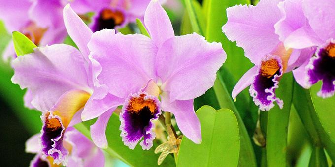 ピンク色のカトレアの花言葉