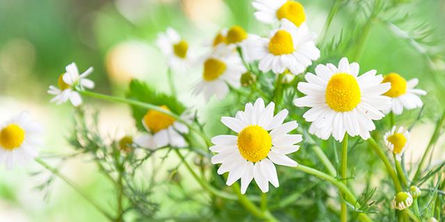 白色のカモミールの花言葉