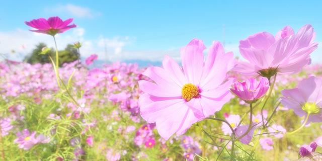 ピンクのコスモスの花言葉