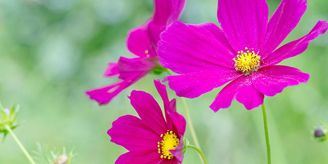 赤のコスモスの花言葉