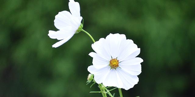白のコスモスの花言葉