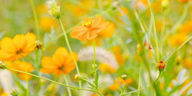 黄色のコスモスの花言葉
