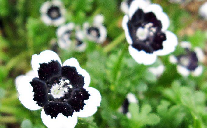 黒色の花の花言葉