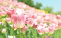 ピンク色の花の花言葉