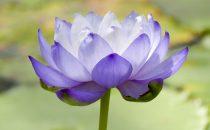 紫色の花の花言葉