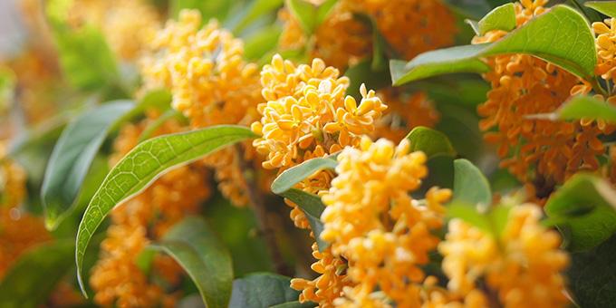 オレンジ色の金木犀(キンモクセイ)の花言葉