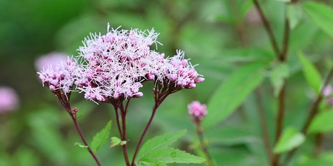 紫色の藤袴(フジバカマ)の花言葉