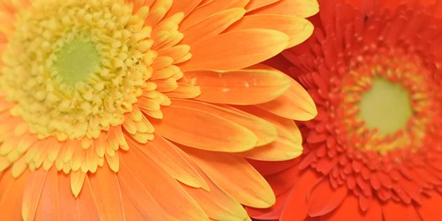 オレンジのガーベラの花言葉