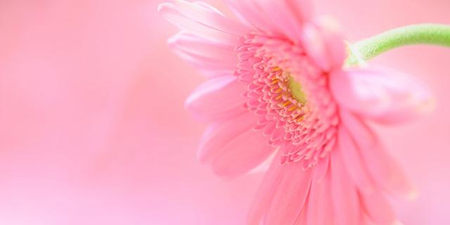ピンクのガーベラの花言葉