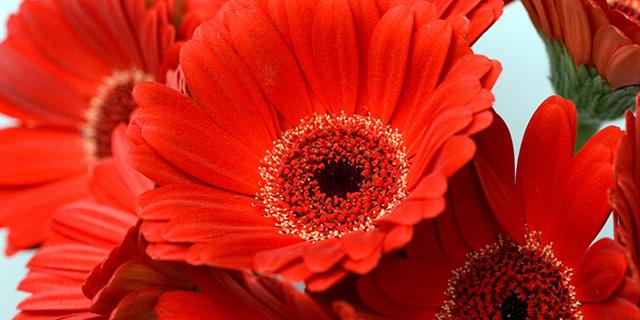 赤いガーベラの花言葉