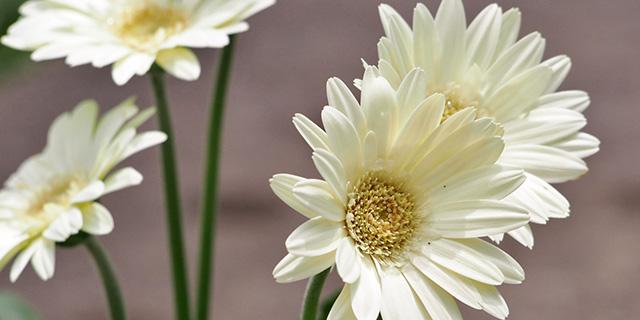 白いガーベラの花言葉