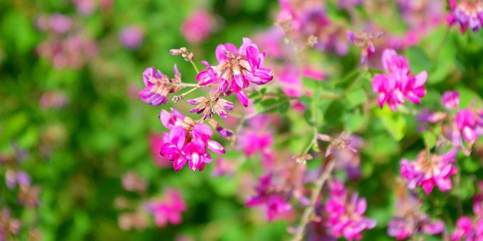 紫色の萩(ハギ)の花言葉
