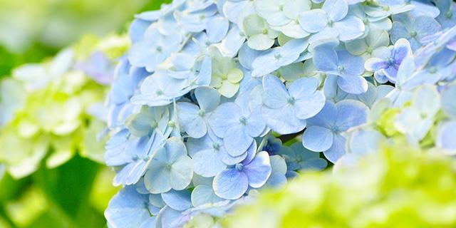 青色のアジサイ/青紫色のアジサイ
