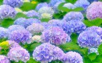 色で変わる「紫陽花/アジサイ」の花言葉