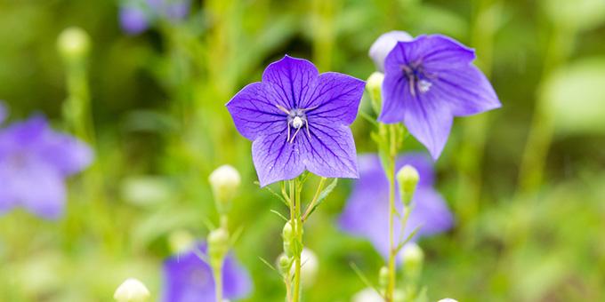 紫色の桔梗(キキョウ)の花言葉