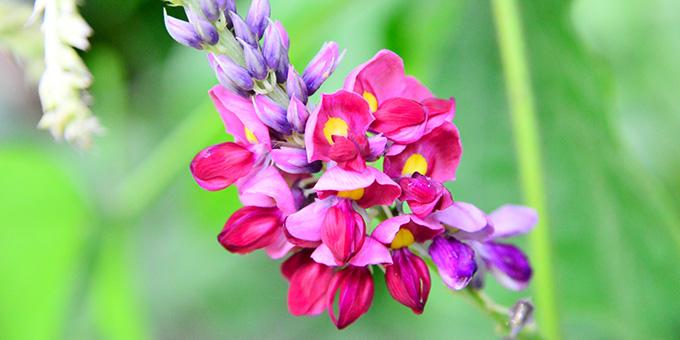 紫色の葛(クズ)の花言葉