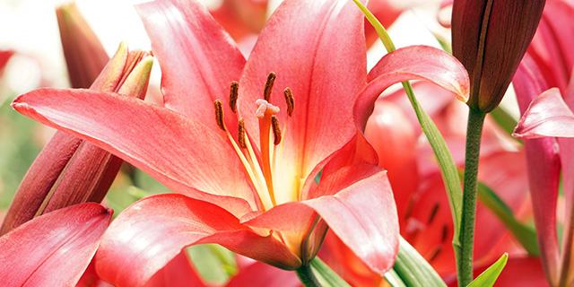 赤いユリの花言葉